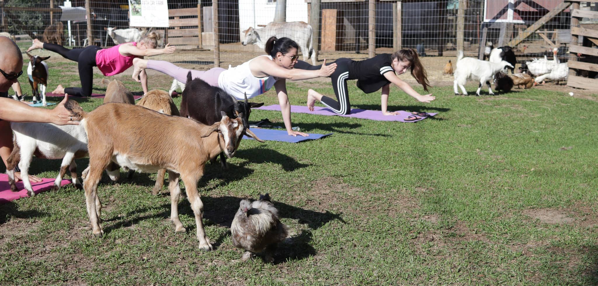 Outside Workout Valdosta. A photo of a goat yoga class at Fifth Day Farm