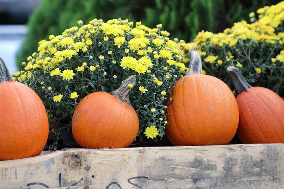 Pumpkin patch near me. A photo of a couple pumpkins with mums for sale
