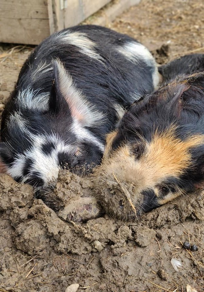 Attractions in Valdota. A photo of two pigs at Fifth Day Farm